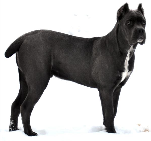 6-месячный щенок кане-корсо
