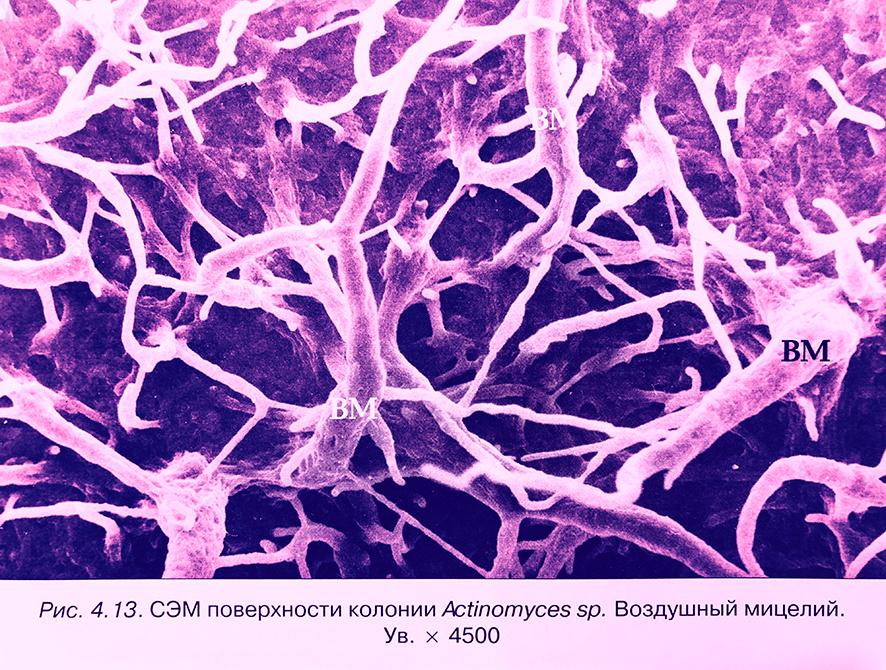 актиномицеты