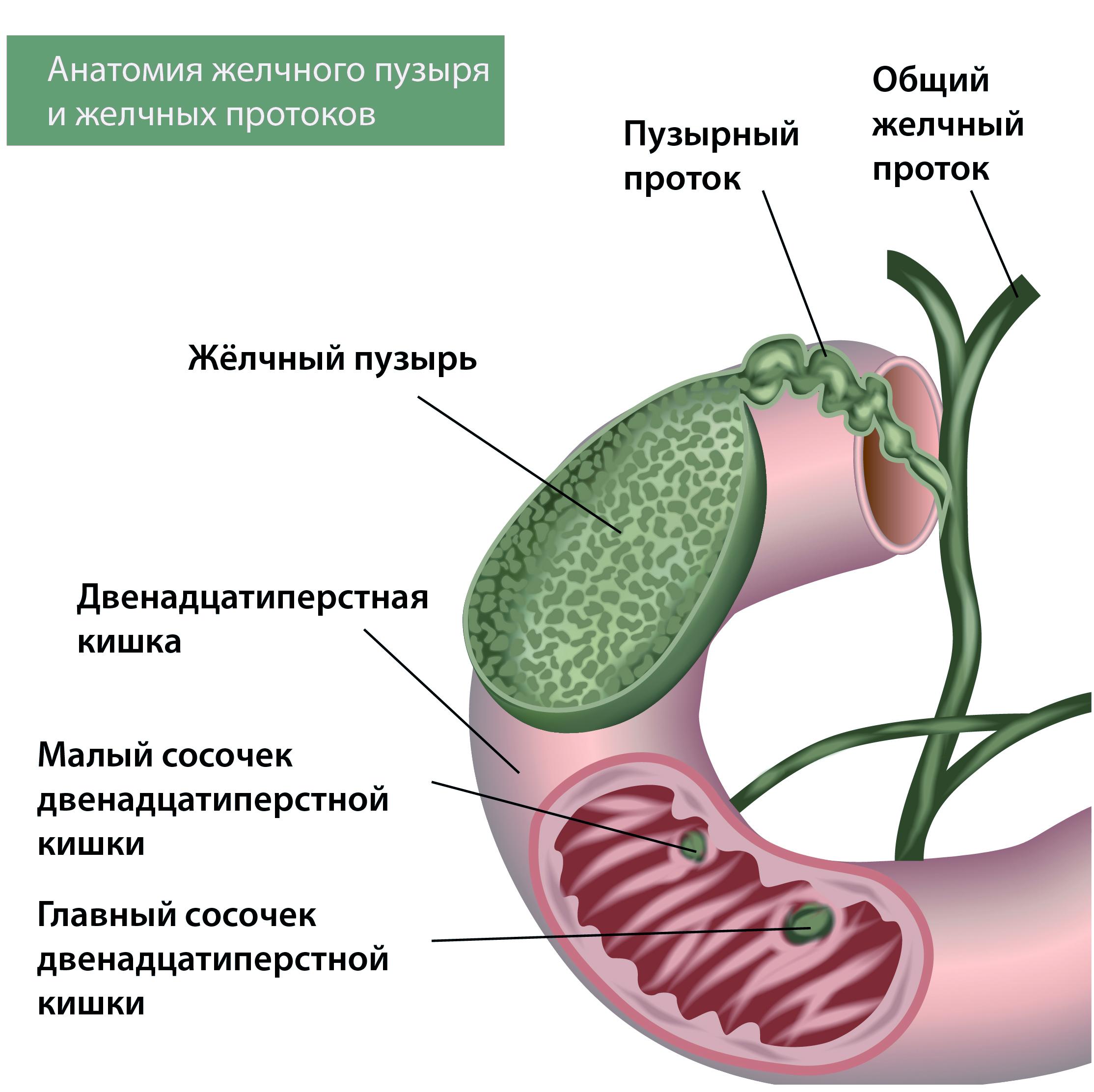 Анатомия желчного пузыря и протоков